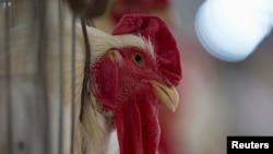 Penghentian impor jagung untuk pakan ternak akan membuat harga grosir unggas dan telur naik sedikitnya enam persen, menurut Asosiasi Peternak Unggas Indonesia (Foto: ilustrasi).