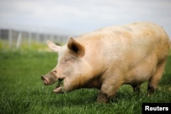 "A pig named Yossi, grazes at ""Freedom Farm"" in Moshav Olesh, Israel March 7, 2019. Yale scientists looking to enhance brain study, were able to restore basic cellular activity in the brains of pigs hours after their death."