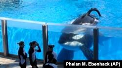 FILE - Tilikum the orca at the Seaworld in Orlando, Florida in 2011. (AP/Phelan M. Ebenhack))