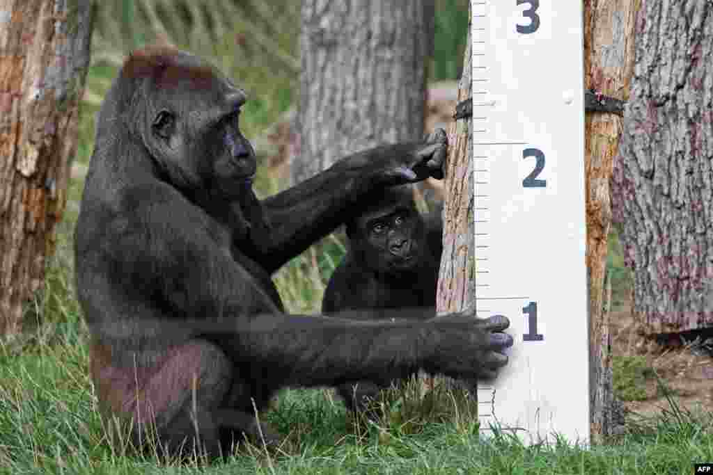 "Gorilla ""Mjukuu"" and her baby ""Alika"" check out a measuring device in an enclosure during a photocall at London Zoo to promote the zoo's annual weigh-in event."