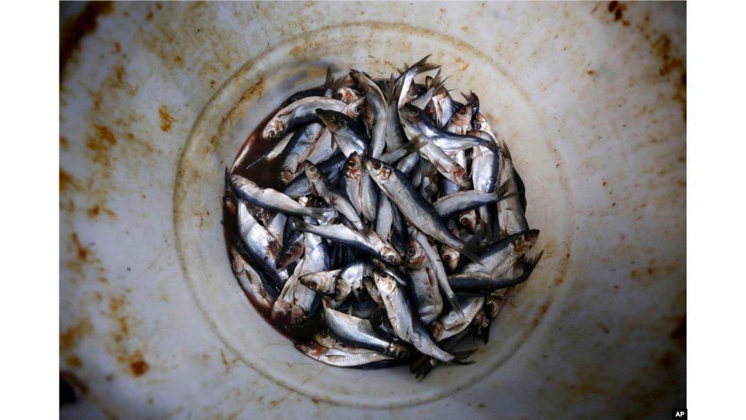 Industri Penangkapan Lobster As Terancam Karena Menurunnya Populasi Herring