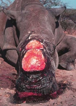 A rhino butchered in South Africa by poachers for its horn