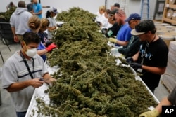 FILE - Farmworkers remove stems and leaves from newly-harvested marijuana plants at Los Suenos Farms, America's largest legal open-air marijuana farm, in Avondale, Colorado, Oct. 4, 2016.