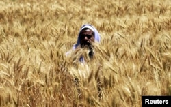A farmer harvests wheat on a field in the El-Menoufia governorate, about 9.94 km (58 miles) north of Cairo, Egypt, April 23, 2013.
