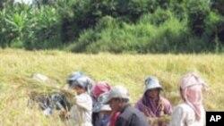 خراب موسم میں زیادہ پیداوار دینے والے چاول کی نئی قسم