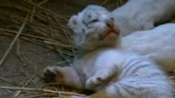 Rare White Tigers Cubs Wow at Japanese Zoo