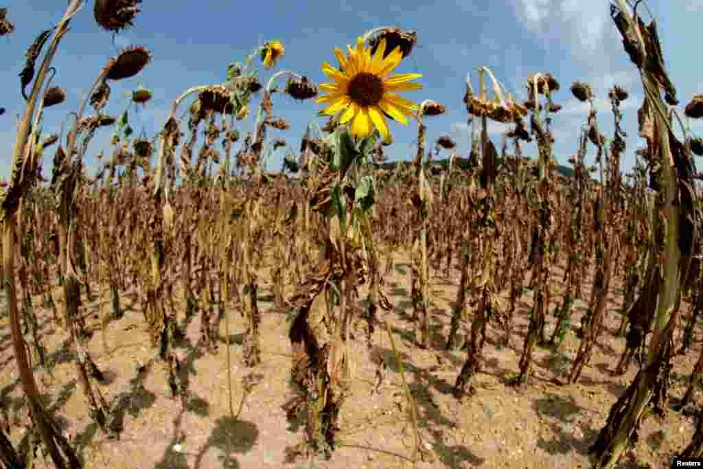 تنهاگل آفتابگردان باقی مانده از میان گلهای آفتابگردان خشک شده در یک مزرعه در سوئیس. گرمای شدید هوا سبب خشک شدن آفتابگردانهای این مزرعه شده است.
