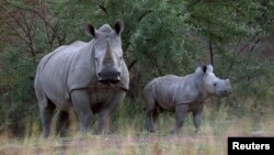 A White Rhino and her calf walk in the dusk light in Pilanesberg National Park in South Africa's North West Province, April 19, 2012.