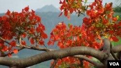 Tháng Mười Hai ở Tahiti có phượng nở đỏ. (Ảnh: Bùi Văn Phú)