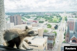 A raccoon scratches herself on the window sill of the Paige Donnelly Law Firm on the 23rd floor of the UBS Plaza building in St. Paul, Minnesota, June 12, 2018, in this image obtained from social media.
