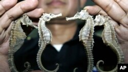Thailand Saving Species Seahorses: FILE - In this March 16, 2007 file photo, a Thai customs official shows confiscated seahorses during a press conference in Bangkok. Thailand, the biggest exporter of seahorses, is suspending trade in the animal because of concern about threats to its wild population.