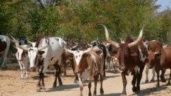Huíla: Autoridades tradicionais exortam comunidades a usarem gado para fazerem face à fome -1:35
