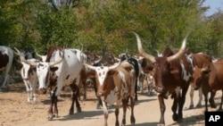 Gado bovino na provincia da Huila (arquivo)