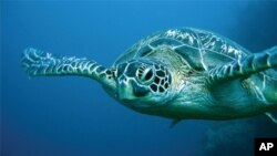 As Oil Ebbs, the Turtles Return