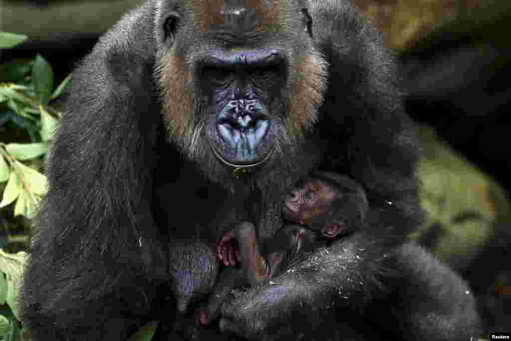 A newly born Western lowland gorilla baby is held by its mother 'Frala' in their enclosure at Taronga Zoo in Sydney, Australia, May 19, 2015.