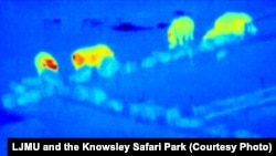 False-color, thermal-infrared image of a group of rhinos taken from drone video footage at Knowsley Safari Park in Merseyside, England.