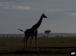 FILE - A giraffe walks near a distant line of wildebeest in Kenya's Maasai Mara Game Reserve, Dec. 4, 2013.