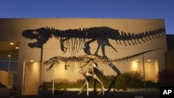 FILE - Image shows a bronze cast of the Tyrannosaurus rex skeleton known as the Wankel T.rex, in front of the Museum of the Rockies at Montana State University in Bozeman.