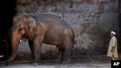 FILE In this May 31, 2016, photo Pakistani caretaker Mohammad Jalal looks at elephant Kaavan at Marghazar Zoo in Islamabad, Pakistan. The plight of Kaavan, a mentally tormented bull elephant confined to a small pen in the Islamabad Zoo for nearly three de