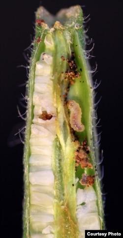 Seed predation on evening primrose fruit by Monpha brevivitella moth larva. (Credit: Marc Johnson)