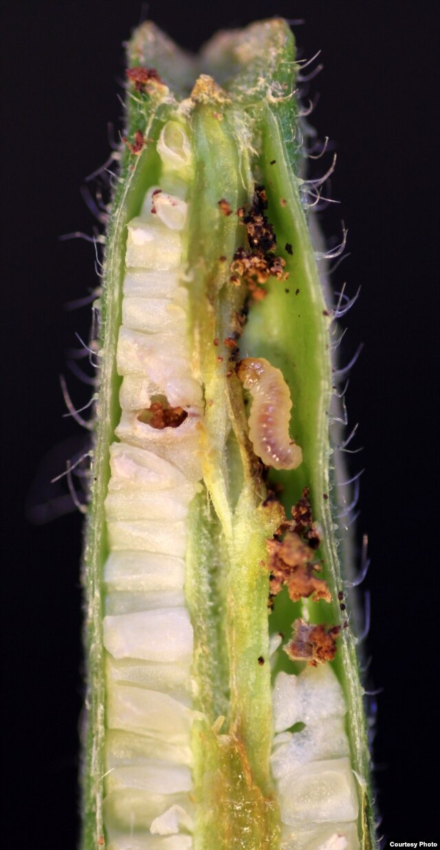 Seed predation on evening primrose fruit by Monpha brevivitella moth larva. (Credit: Marc Johnson)
