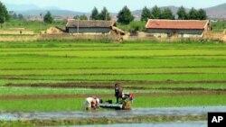 지난 11일 북한 압록강 하구 섬 황금평에서 논에 모를 심는 농민들.