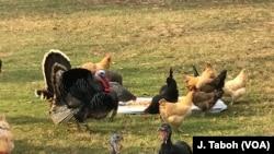 U Centru za zaštitu životinja Poplar Spring - Dan zahvalnosti se slavi zajedno sa ćurkama