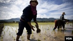 Petani Thailand menanam padi di dekat Mae Sariang, Thailand (foto:dok). Ekspor beras Thailand mencapai sepertiga dari kebutuhan beras global per tahun.