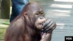Seekor orangutan yang berada di pusat satwa liar di Sepilok, Sabah, Malaysia (foto: dok).
