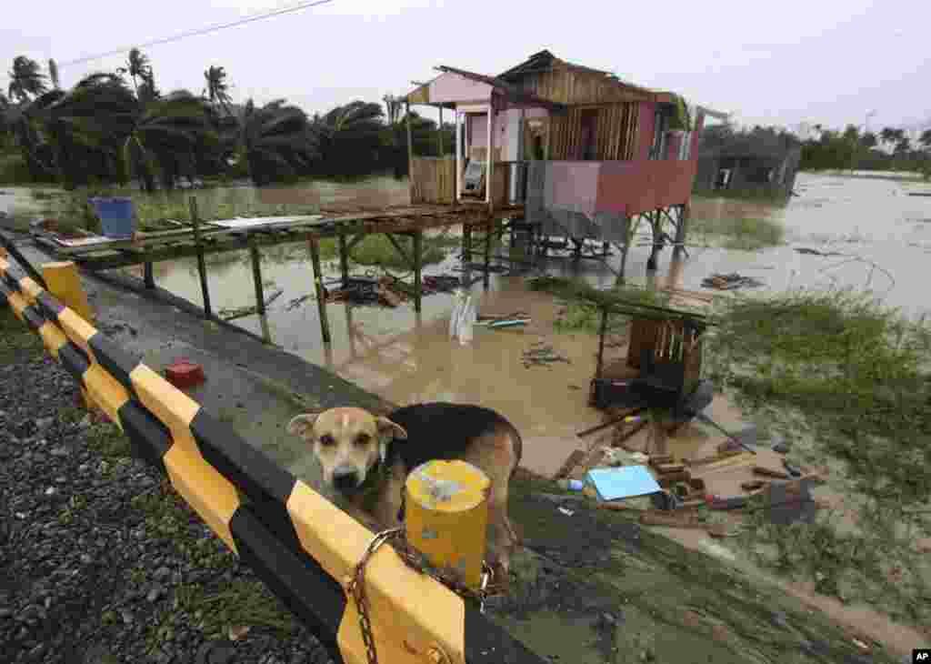 4일 필리핀 콤파스텔라밸리 주에서 태풍 보파 피해로 파괴된 가옥. 주민이 기르던 개가 집 주변에 묶여있다.