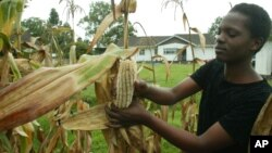 FILE: Christine Peresuh harvests corn in her garden in Harare, Tuesday, April 5, 2005.