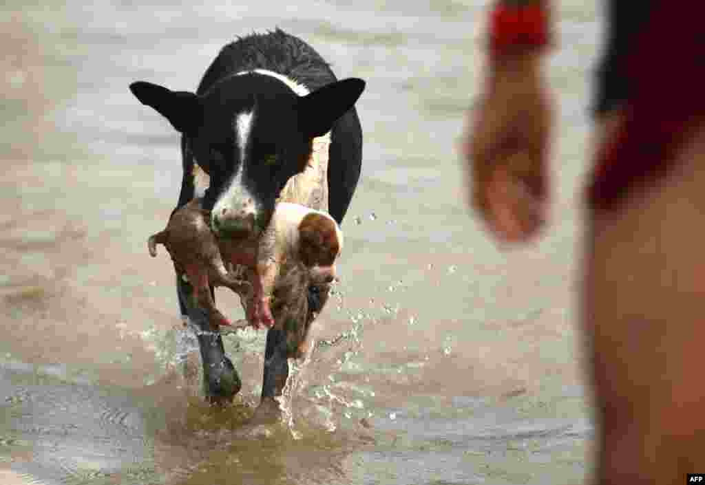 A dog carries a puppy to a drier place at Sangam area in Allahabad, India, as water levels of the Ganges and Yamuna rivers increase following monsoon rains.