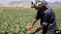Cánh đồng cây thuộc phiện ở Afghanistan