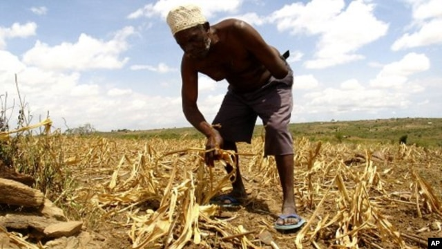 A farmer gathers arid corn crops on his farm in Kwale, Kenya (File Photo).
