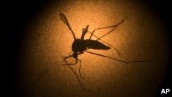 Một con muỗi Aedes aegypti được chụp qua kính hiển vi tại Viện Fiocruz ở Recife, bang Pernambuco, Brazil, ngày 27 tháng 1 năm 2016.