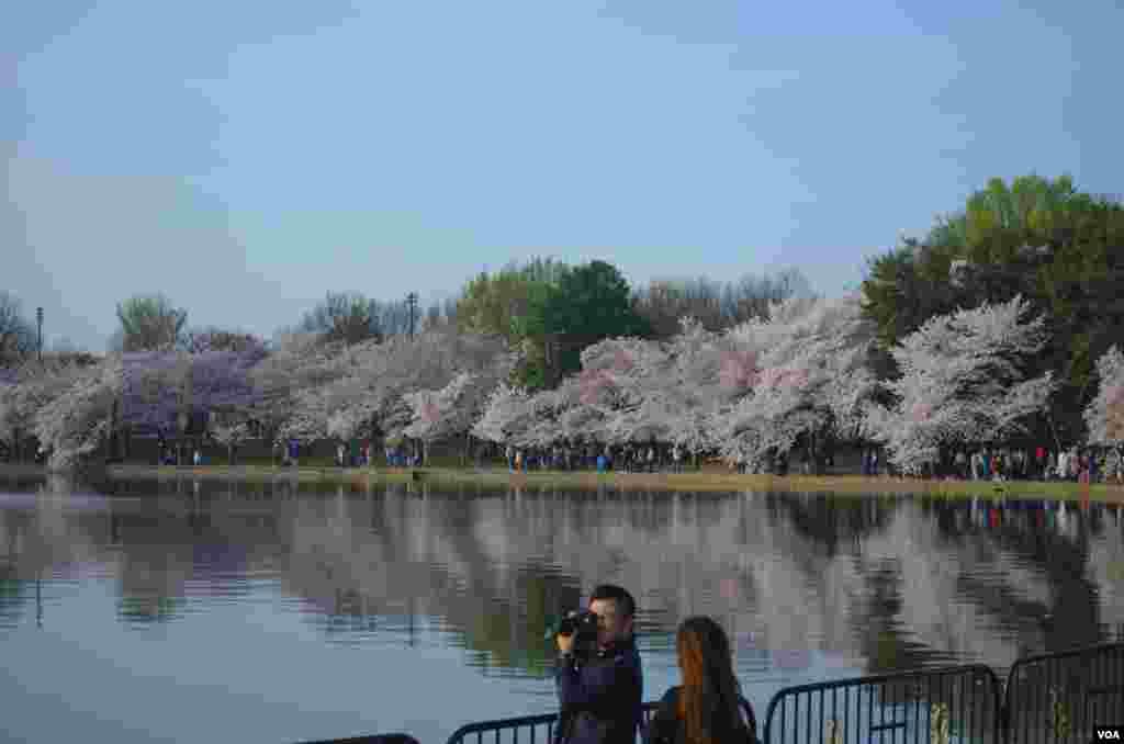 Visitors photograph the cherry blossoms in peak bloom around the Tidal Basin, Washington, DC, April 13, 2014. (Elizabeth Pfotzer/VOA)