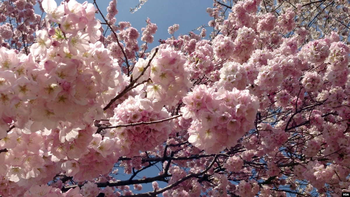 Spectacular Cherry Blossoms In Maryland Lure International Visitors