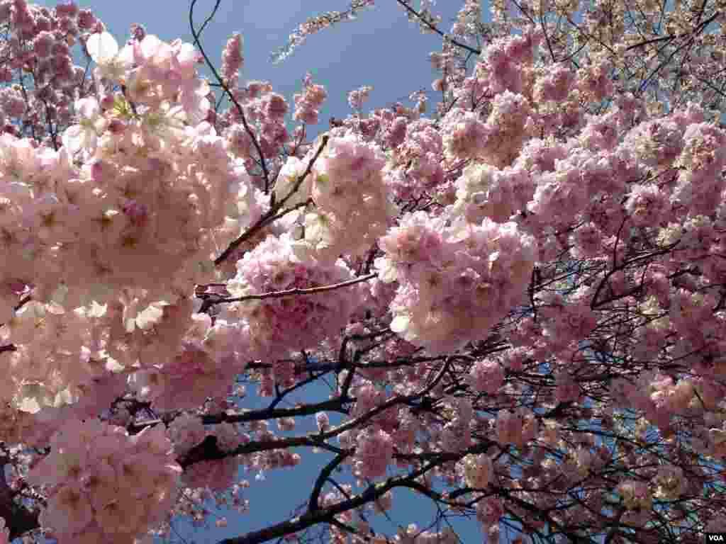 Trešnjava stabla, njih oko 3.000,  duž Tidal Basen-a u Washingtonu su u punom cvatu i najveća proljetna turistička atrakcija glavnog grada SAD. (Photo by Sandra Lemaire/VOA)