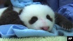 미국 워싱턴 동물원의 새끼 판다. (자료사진)