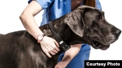 The Voyce collar can monitor a dog for signs of pain. The manufacturer offers a version that veterinarians can prescribe for pets recovering from surgery or long-term illness. (Credit: voyce.com)