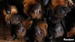 یکی از ساکنان روستا، هجوم این تعداد از خفاشها را بیسابقه توصیف کرد و گفت در عمرش چنین چیزی را ندیده است.