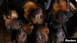 Grey-headed flying foxes, a type of fruit bat, pictured in a house in the outskirts of Bangkok, Thailand. (file photo)