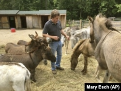 Donkey Park owner Steve Stiert, walks among his donkeys in Ulster Park, N.Y. Stiert offers free donkey-aided therapy programs and educational events as part of his mission to protect donkeys from mistreatment and neglect.