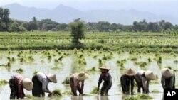 亞洲糧農種植穀物