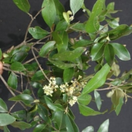 The threatened African wild olive, Olea africana, has anti-malarial properties that scientists say deserve further study.