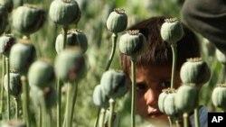 阿富汗法拉省的一名男孩在罂粟丛中张望(2009年5月5号资料照)