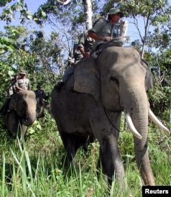 FILE - Indonesian forest rangers ride on elephants during a routine patrol in the Leuser National Park in Sumatra, April 7, 2001