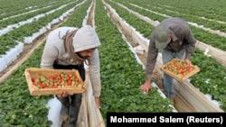 Sejumlah petani Palestina memanen stroberi di tengah pandemi virus corona di bagian utara Jalur Gaza, 22 Desember 2020. (Foto: Mohammed Salem/Reuters)