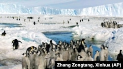 Crowds of Emperor penguins on the ice in Antarctica on December 21, 2005