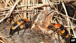 A pair of American burying beetles prepares to bury a bobwhite quail carcass.